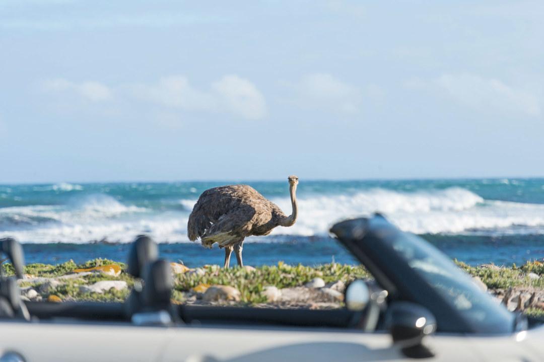 Begegnung mit einem Strauß auf der Fahrt über die Kap-Halbinsel